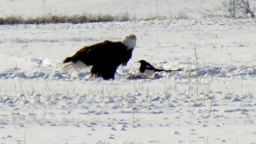 eagle.magpie