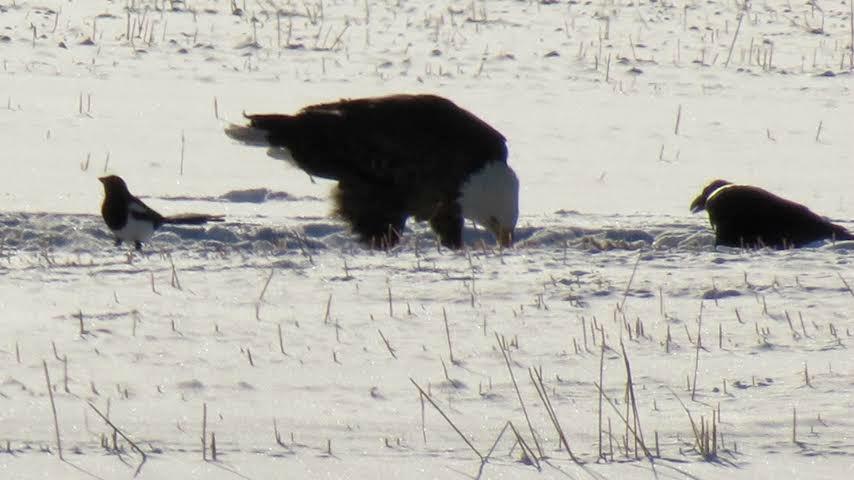 eagle.raven.magpie