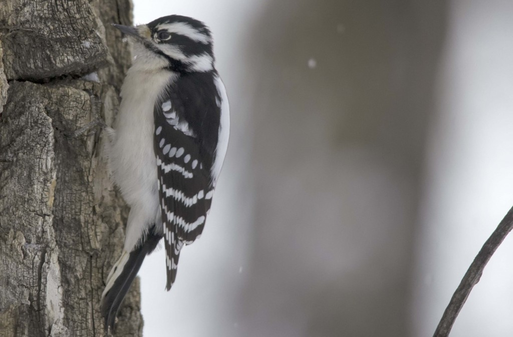 female Downy Woodpecker Pentax K-5 + Sigma 150-500@500mm 1/640sec., ƒ/6.3, ISO 1600