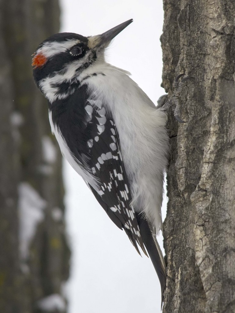 male Hairy Woodpecker Pentax K-5 + Sigma 150-500@500mm 1/640sec., ƒ/6.3, ISO 1600