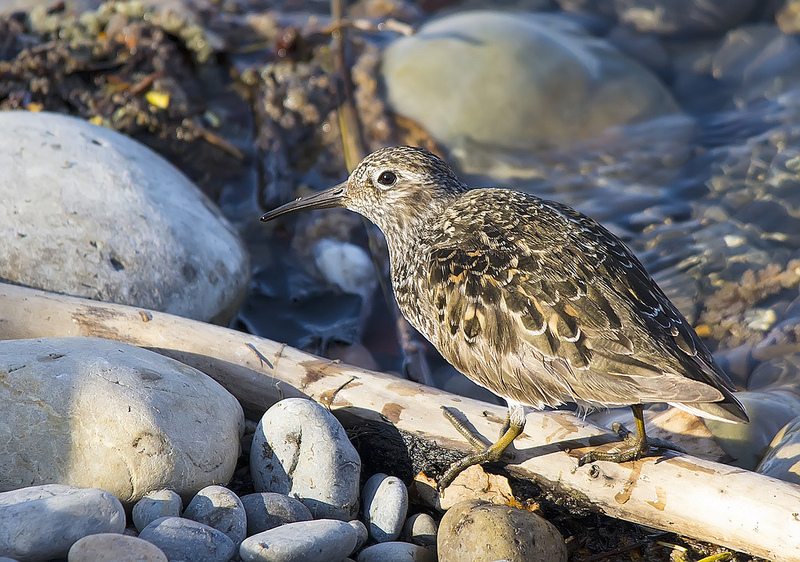 Purple Sandpiper Inglewood Bird Sanctuary May 2013