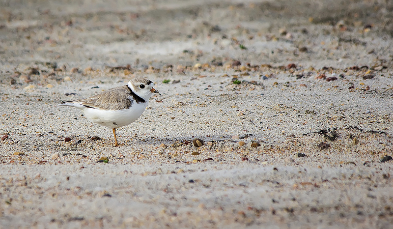 Piping Plover north of Hanna May 2013
