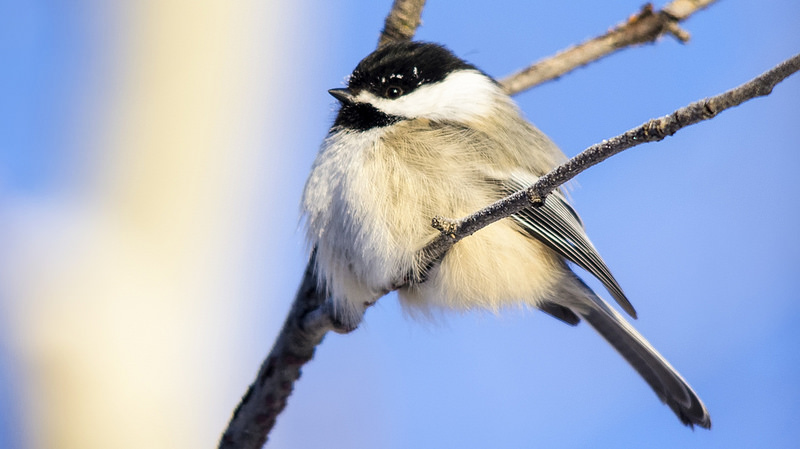 Black-capped Chickadee Bebo Grove