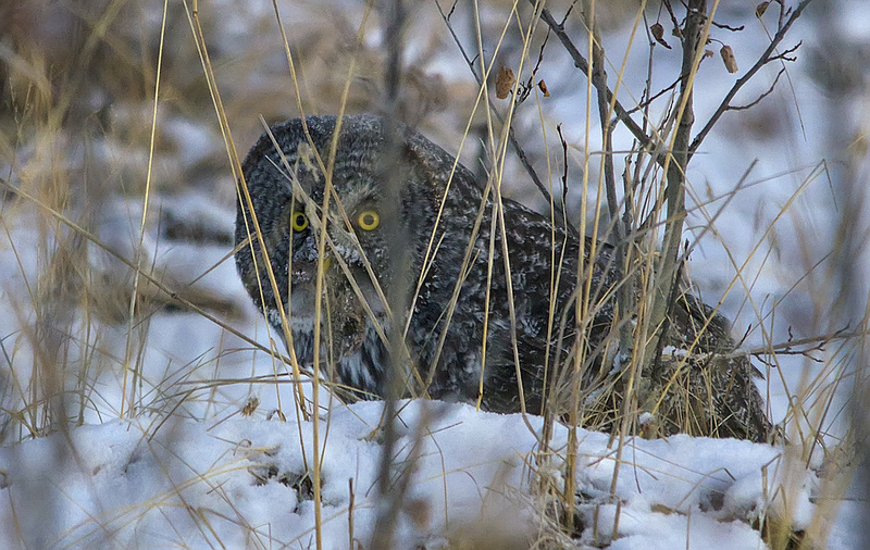 Great Gray Owl Grand Valley Road March 2013