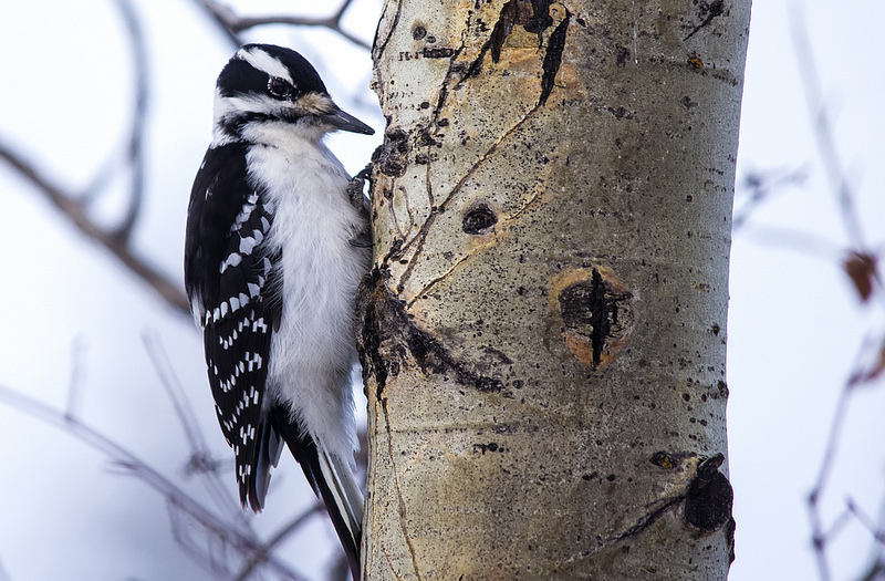 Hairy Woodpecker (female) Pentax K-5 + Sigma 150-500@500mm 1/500sec., ƒ/6.3, ISO 1600