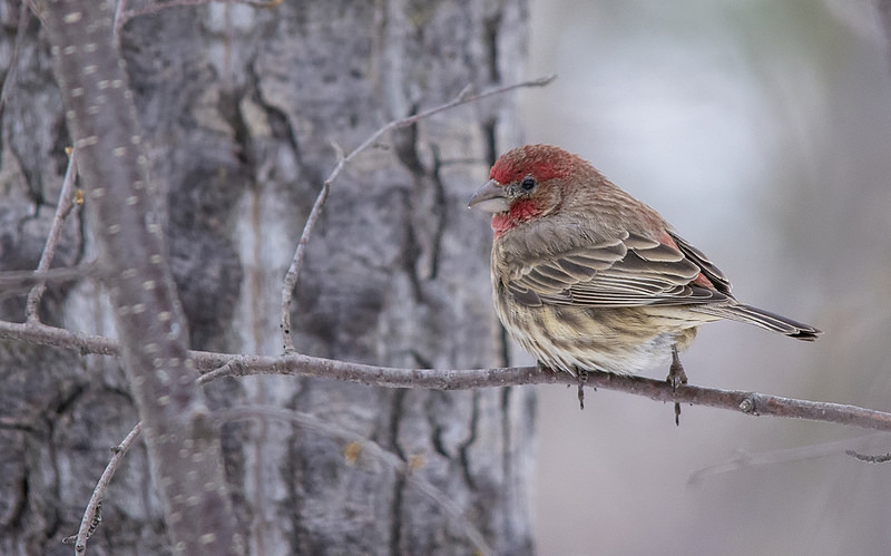 House Finch Pentax K-5 + Sigma 150-500@500mm 1/640sec., ƒ/6.3, ISO 1600