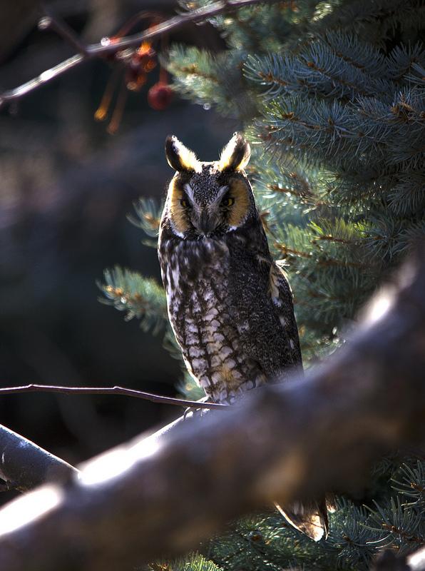 Long-eared Owl North Calgary, 2013