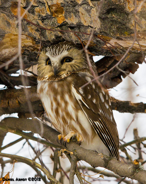 Northern Saw-whet Owl Carburn Park January 2012