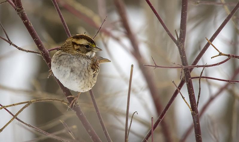 WT Sparrow