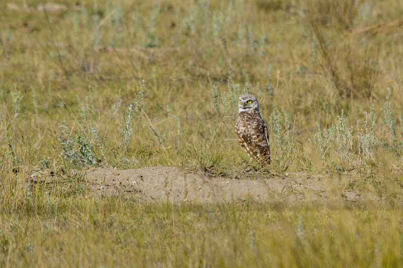 Burrowing Owl west of Brooks August 2012