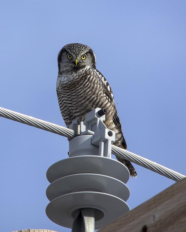 Northern Hawk Owl November 2012 Exshaw