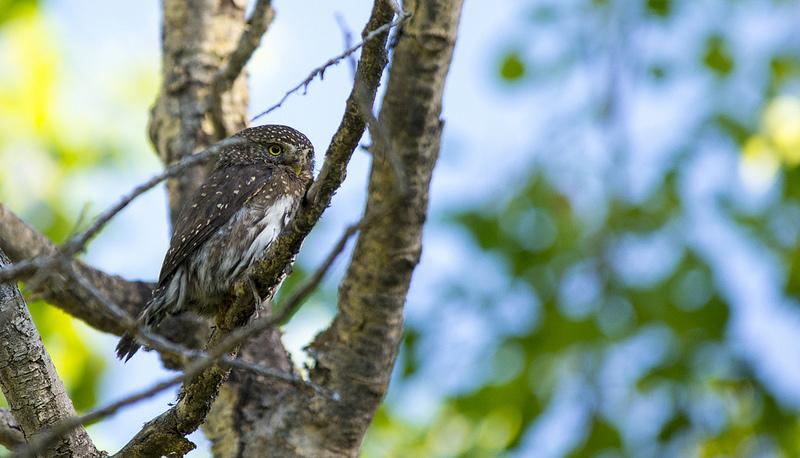Northern Pygmy Owl Winchell Lake July 2013