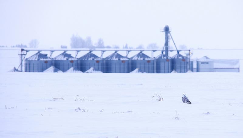 Snowy Owl Beiseker, AB December 2013