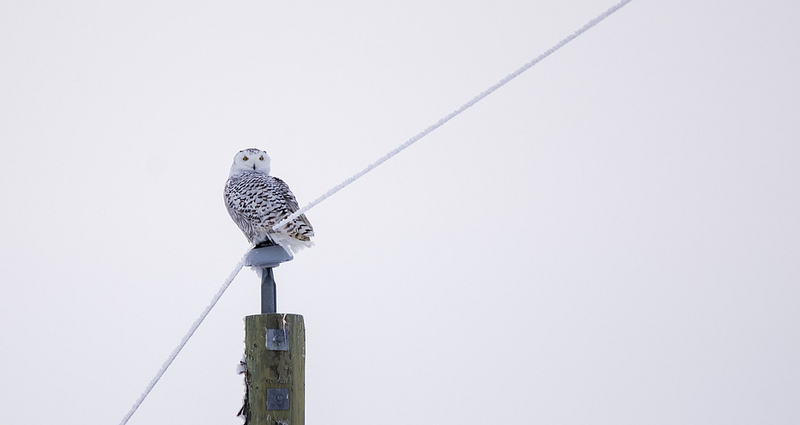 Snowy Owl Beiseker, AB December 13, 2013