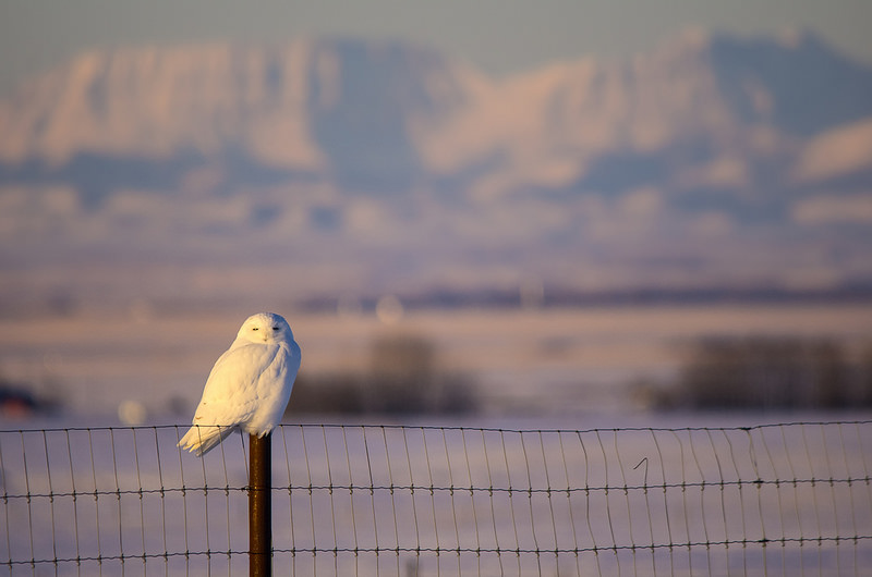 Snowy Owl north of Blackie February 1, 2014