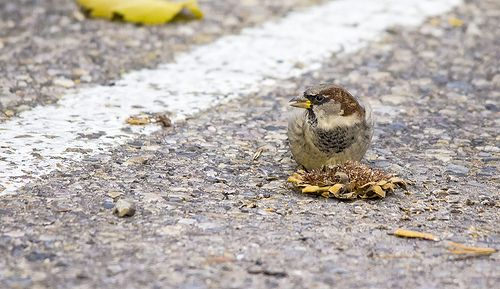 male House Sparrow in a parking lot