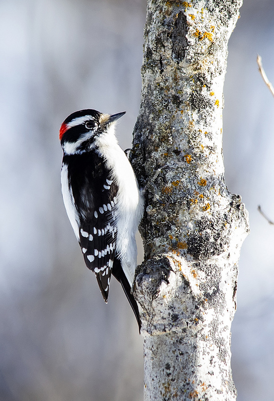 male Downy Woodpecker Pentax K-5 + Sigma 150-500@500mm 1/640sec., ƒ/6.3, ISO 1250