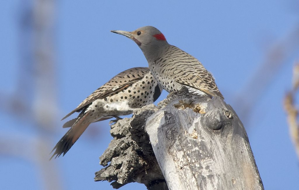 dueling Northern Flickers