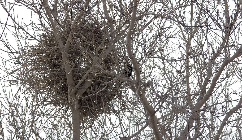 Black-billed Magpie at nest