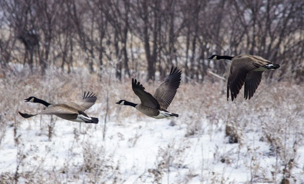 Canada Geese in flight Pentax K-5 + Sigma 150-500@500mm 1/1000sec., ƒ/6.3, ISO 800