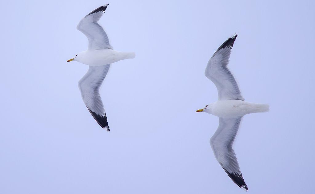 California Gulls Pentax K-5 + Sigma 150-500@500mm 1/1000sec., ƒ/6.3, ISO 160