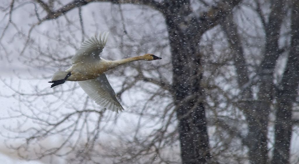 Tundra Swan March 31, 2014