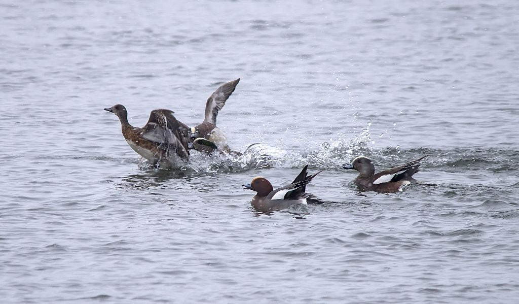 Eurasian and American Wigeon March 31, 2014