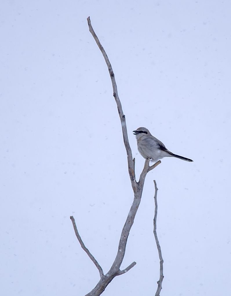 Northern Shrike March 31, 2014