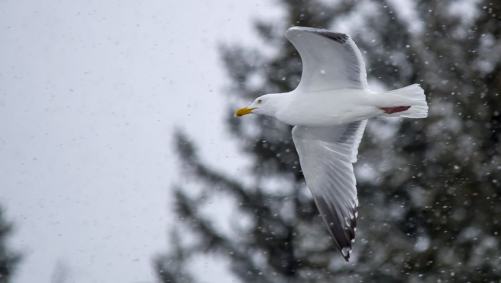 Herring Gull in flight March 31, 2014