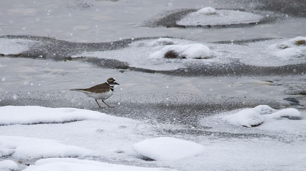 Killdeer March 31, 2014