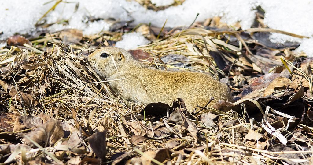 Richardson's Ground Squirrel Sikome Lake April 6, 2014