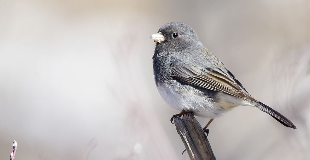 Dark-eyed Junco (Slate-colored subspecies) Sikome Lake April 6, 2014
