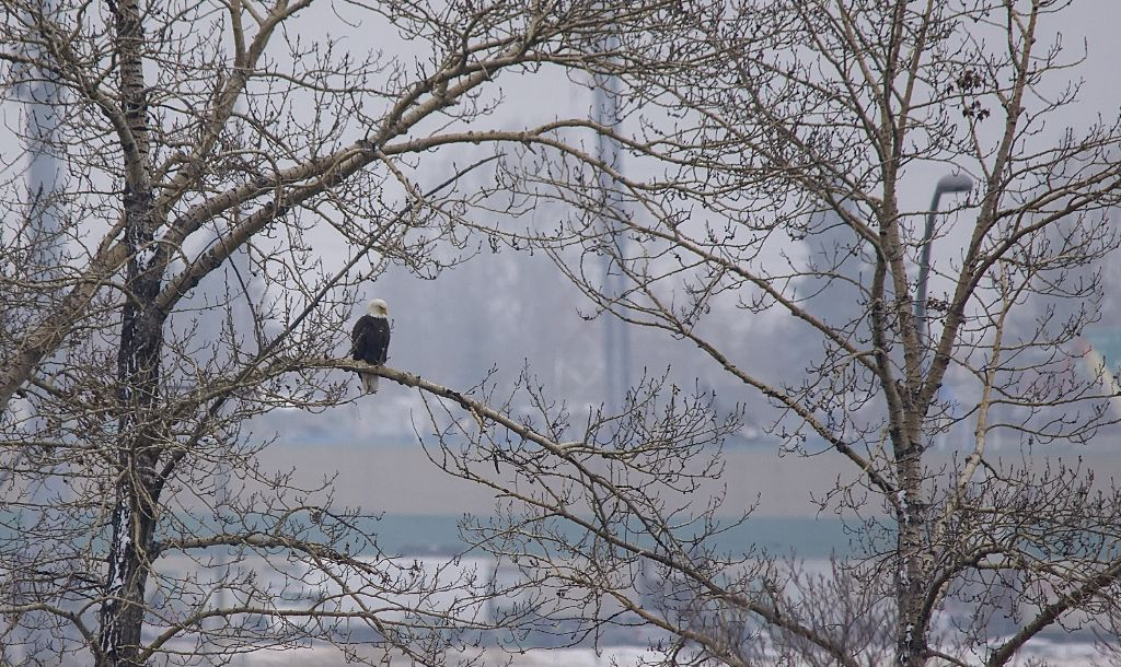 Bald Eagle near nest Carburn Park - April 17, 2014 Pentax K-5 + Sigma 150-500@500mm 1/800sec., ƒ/6.3, ISO 500