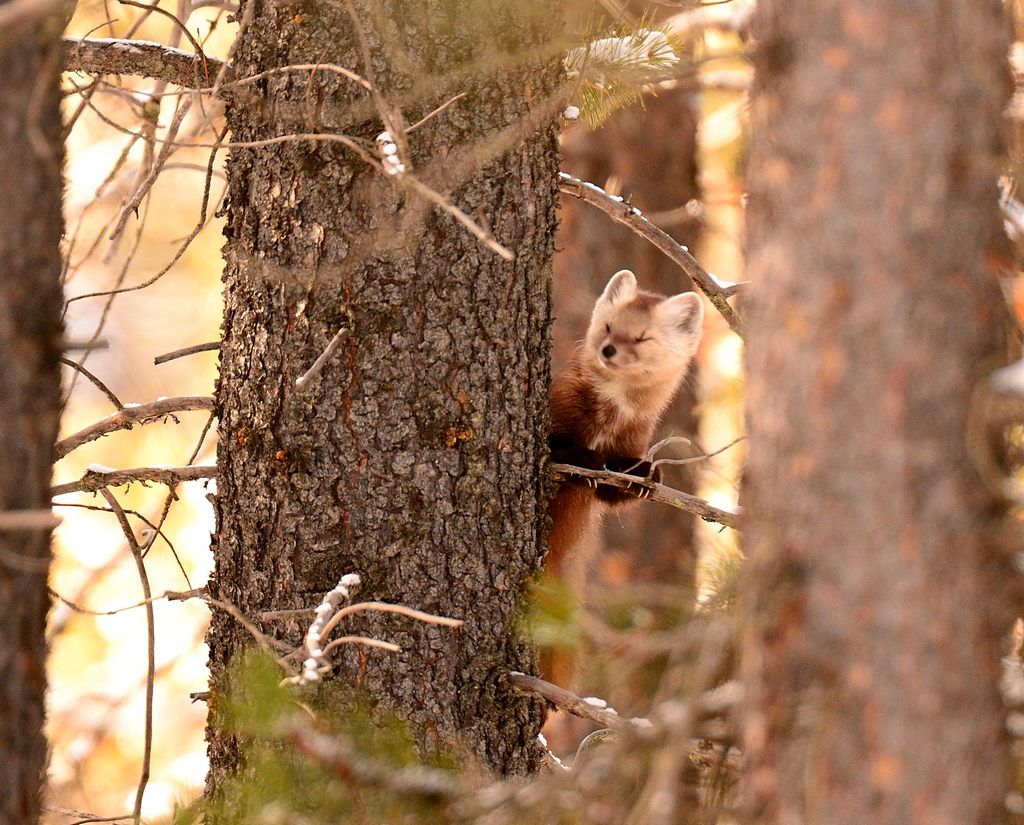 Pine Marten basking in the bright sunlight.