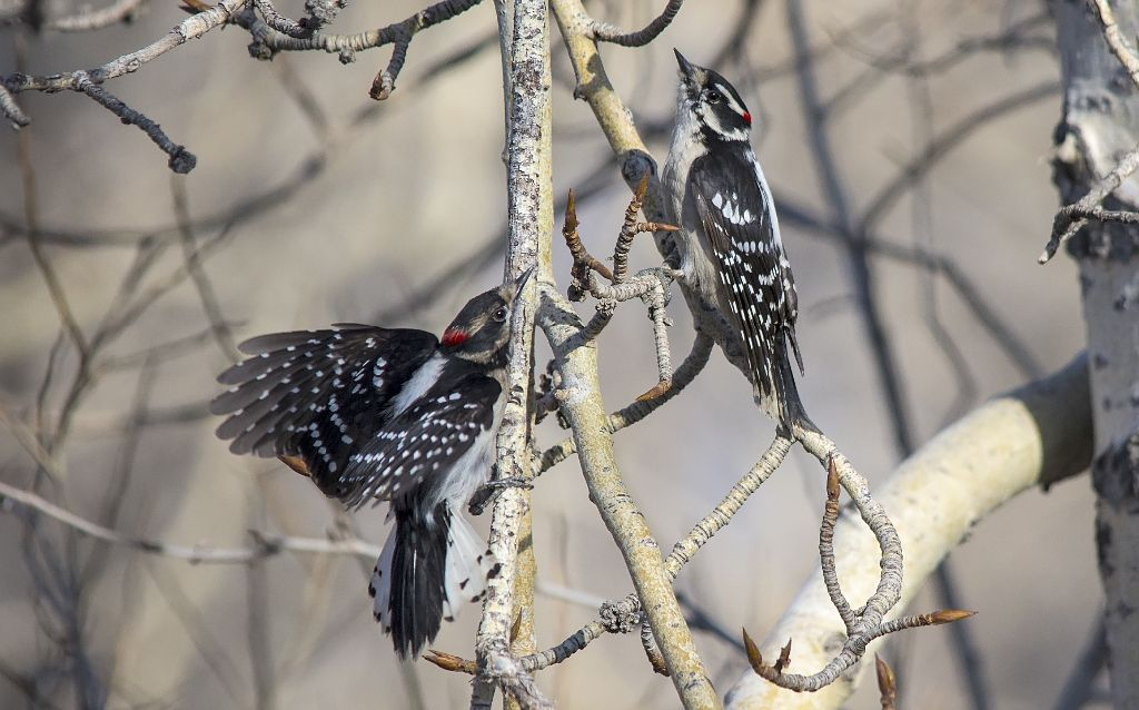 Downy Woodpeckers displaying Carburn Park - April 20, 2014 Pentax K-5 + Sigma 150-500@500mm 1/2000sec., ƒ/6.3, ISO 800