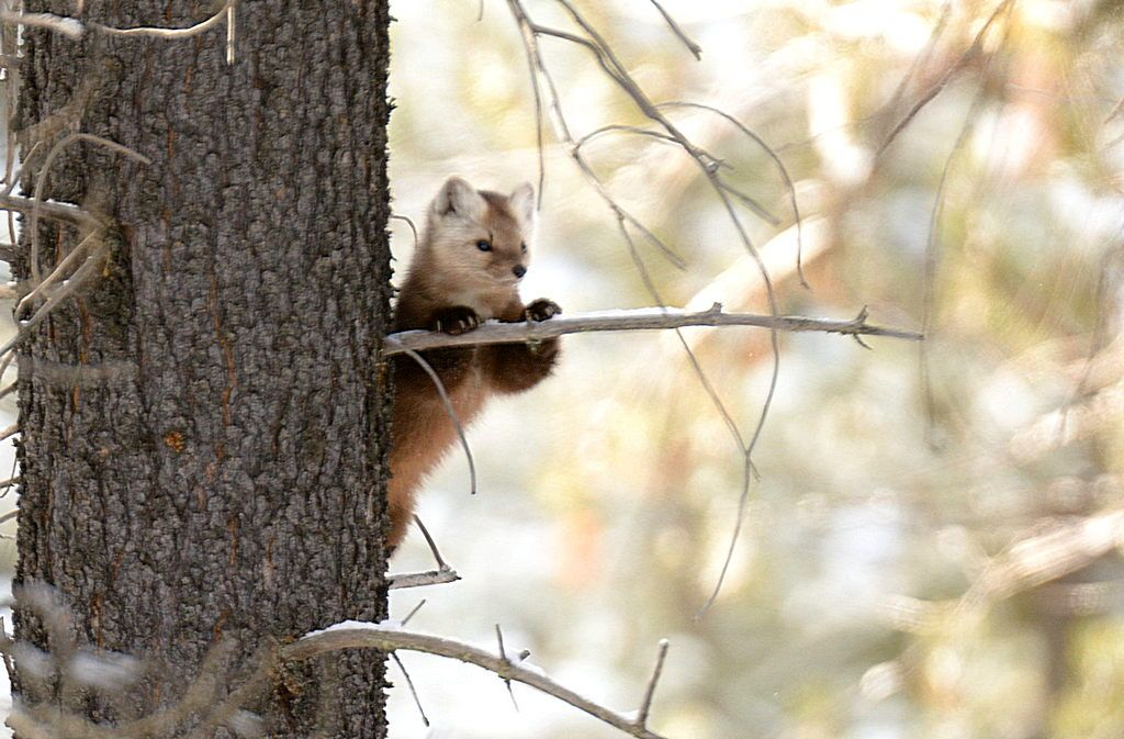 First look at the Pine Marten