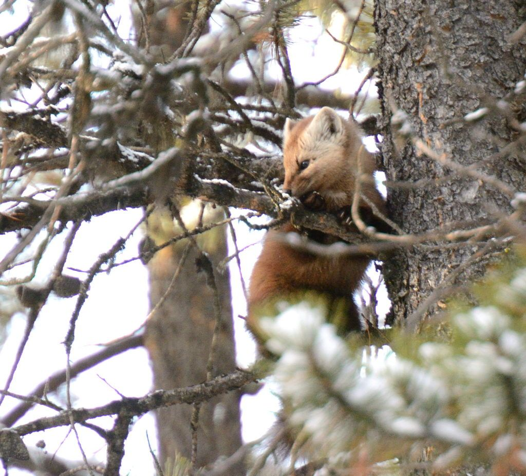 The large ears of a Pine Marten allowing for the excellent hearing this species is known for.