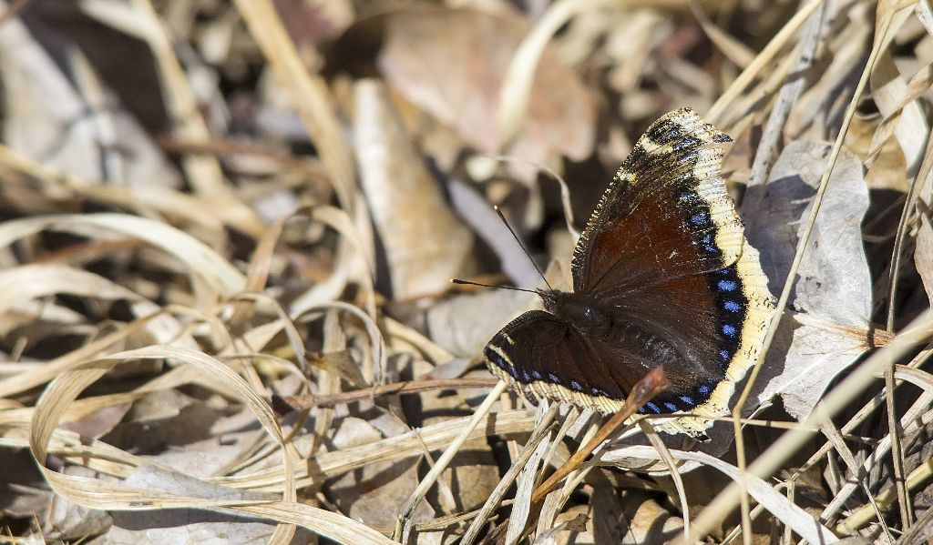 Mourning Cloak butterfly Carburn Park - April 20, 2014 Pentax K-5 + Sigma 150-500@500mm 1/1600sec., ƒ/6.3, ISO 1000