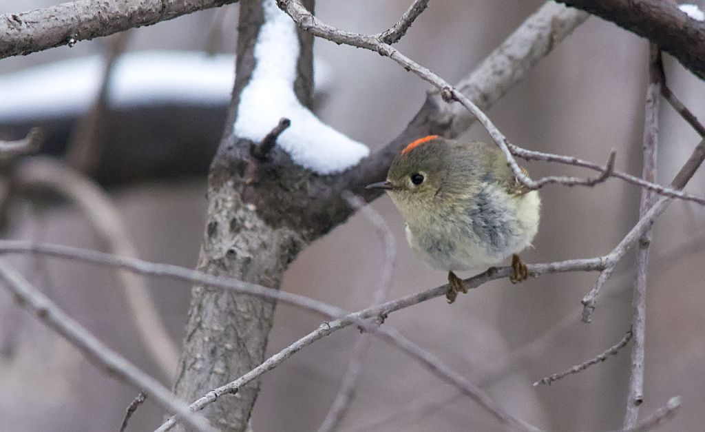 Ruby-crowned Kinglet Carburn Park - April 17, 2014 Pentax K-5 + Sigma 150-500@500mm 1/800sec., ƒ/6.3, ISO 3200