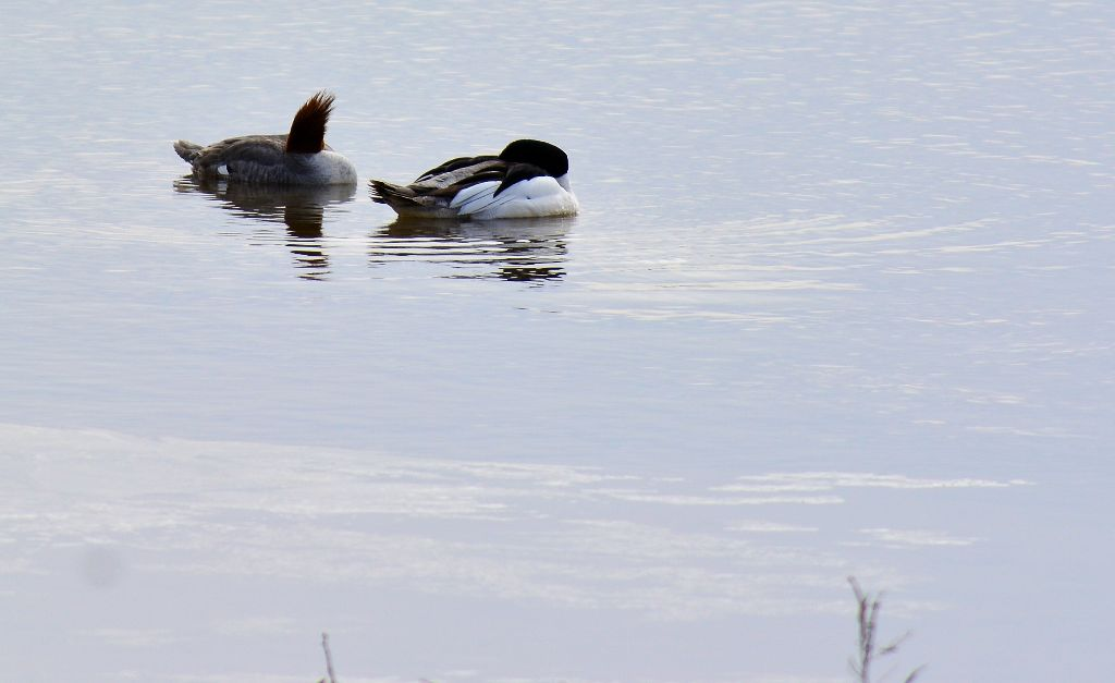 Sleeping Mergansers