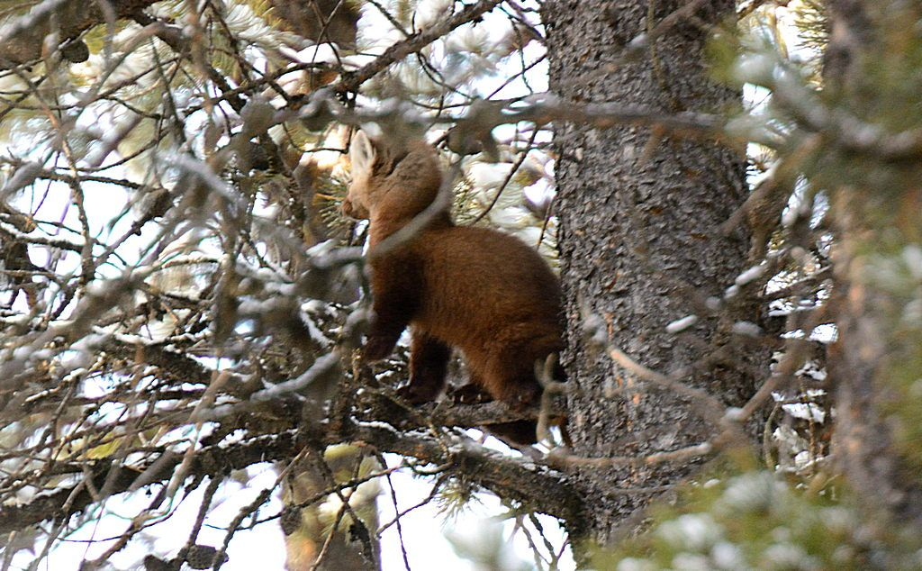 Pine Marten in the branches