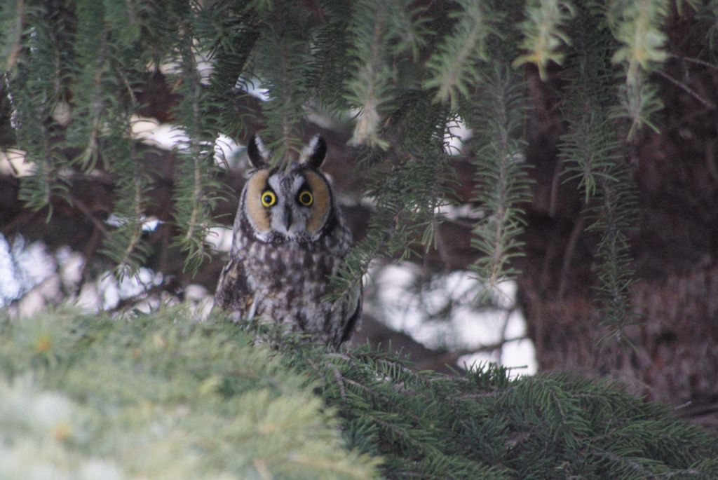 long-eared owl 01