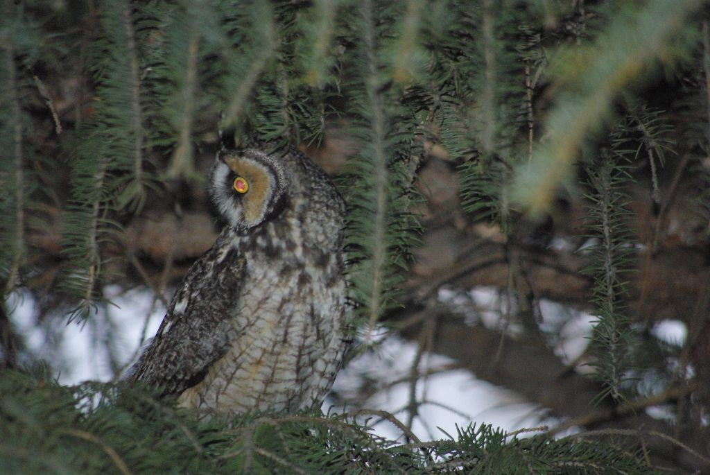 long-eared owl 03