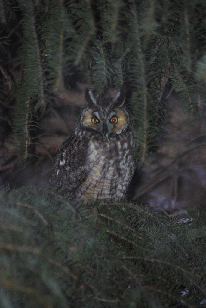 long-eared owl 04