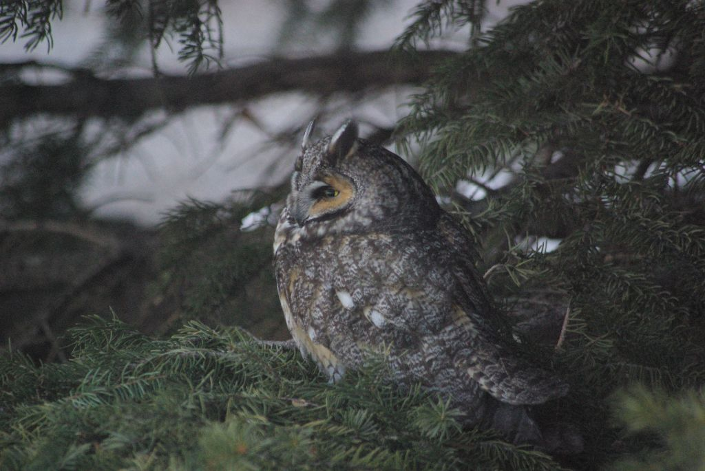 long-eared owl 05