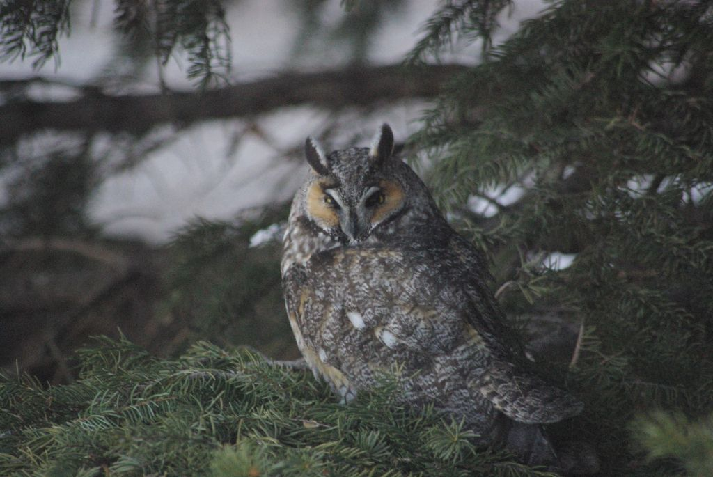 long-eared owl 06
