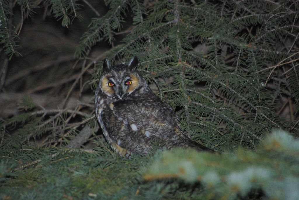 long-eared owl 07