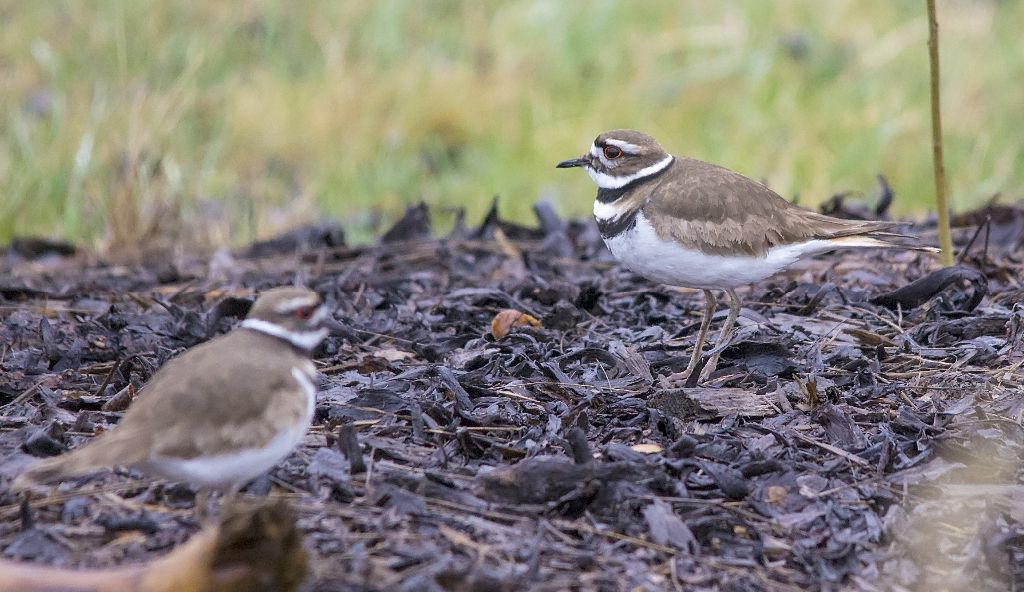 Killdeer North Glenmore Park May 2, 2014