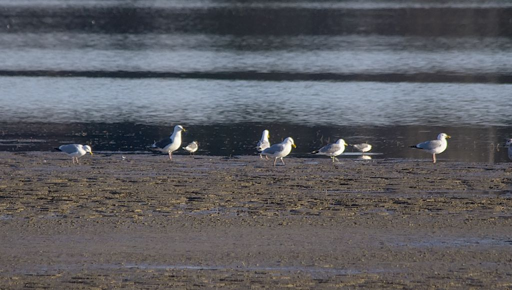 Slaty-backed Gull amongst Herring and Franklin's Gulls Glenmore Reservoir May 7, 2014
