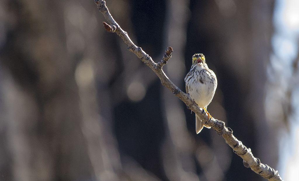 Savannah Sparrow Pentax K-5 + Sigma 150-500@500mm 1/2000sec., ƒ/6.3, ISO 3200
